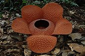 Rafflesia newly opened biggest flower in the world Sumatra
