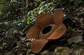 Rafflesia newly opened in the Bukit Barisan Selatan NP ; Rafflesia biggest flower in the world, decomposing after 3 days.