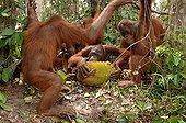 Orangutan subadults eating jackfruit Central Borneo