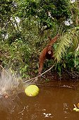 Orangutan trying to get a floating jackfruit with a stick