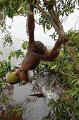 Orangutan taking out floating jackfruit with feet Borneo