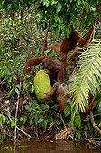 Orangutans taking floating jackfruit from river Borneo ; Group of subadultss