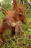 Orangutans eating termites during flood season Borneo