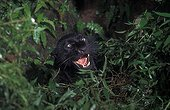 Black panther aggressive behaviour Ujung Kulon NP Java ; melanistic variant of Javan leopard.