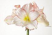 Amaryllis 'Apple Blossom' in studio