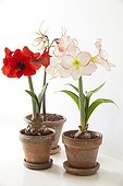 Amaryllis in bloom in studio ; Amaryllis 'Apple Blossom' (wite with red border)<br>Amaryllis 'Chico' (thin petals)<br>Amaryllis 'Red Lion' (red)
