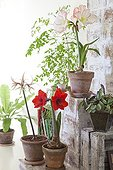 Amaryllis in bloom ; Amaryllis 'Apple Blossom' (wite with red border)<br>Amaryllis 'Chico' (thin petals)<br>Amaryllis 'Red Lion' (red)