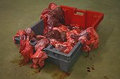 Offal in a box after cutting carcass meat France ; Wholesale Meat