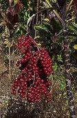 Cordyline seeds in New Caledonia