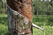 Harvesting a Hevea latex Bukit Lawang Sumatra Indonesia