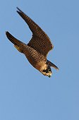 Peregrine falcon in diving flight
