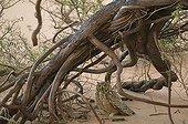 Pharaoh eagle-owl on the ground under a tree