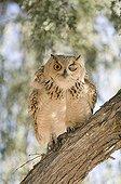 Pharaoh eagle-owl on a branch Unites Arab Emirates