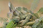 Veiled chameleon on a branch Yemen