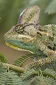 Portrait of a Veiled chameleon on a branch Yemen