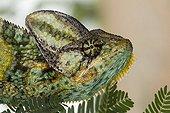 Portrait of a Veiled chameleon Yemen