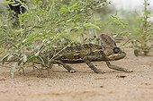 Veiled chameleon walking on the ground Yemen
