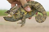 Hand catching a Veiled chameleon Yemen