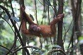 Young Orang-utan in Sumatra undergrowth PN Gunung Leuser