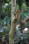 Agama on a tree in undergrowth Sumatra Gunung Leuser NP