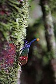 Lantern Fly on a trunk Indonesia Sumatra Gunung Leuser NP