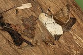Mating of Asian gypsy moth in summer Belgium ; Entomologist : Terence Hollingworth