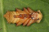 Larva of darkling beetle in Belgium ; Species native to South America