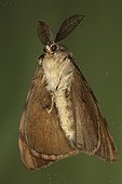 Male Asian gypsy moth on a window Belgium ; Entomologist : Terence Hollingworth
