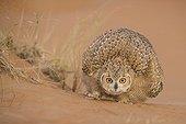 Pharaoh eagle-owl blowing its feathers Unites Arab Emirates