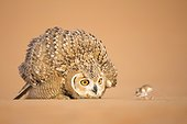 Pharaoh eagle-owl looking at a prey, Unites Arab Emirates