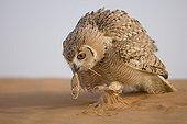 Pharaoh eagle-owl catching a prey Unites Arab Emirates