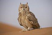 Pharaoh eagle-owl in desert Unites Arab Emirates