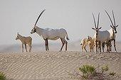 Arabian oryx in the desert