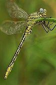 Yellow-legged Clubtail in summer