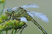 Club-tailed Dragonfly at dawn Prairies Fouzon France