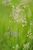 Club-tailed Dragonfly on grass Prairies Fouzon France