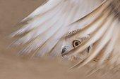 Pharaoh eagle-owl flying United Arab Emirates