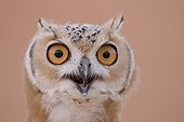 Portrait of a Pharaoh eagle-owl United Arab Emirates