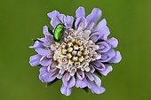Chrysomelid on a Field scabiosa flower France