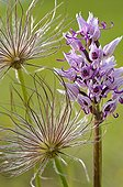 Monkey Orchid and Pasque flowers in bloom France