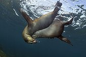 Californian Sea Lions playing in the Sea of Cortez Mexico