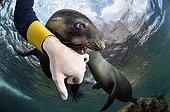Young Californian Sea Lion in Sea of Cortez Mexico ; Its plays with the photographer