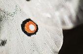 Apollo Butterfly eyespot Pyrenees Spain