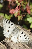 Apollo Butterfly on log Pyrenees Spain