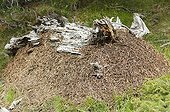 Massive anthill in the high Pyrenees pine forest Spain
