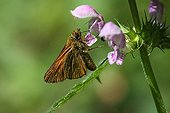 Small Skipper on flower Marsh Woundwort Pyrenees France