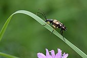 Long-horned Beetle on a blade of grass Pyrenees France