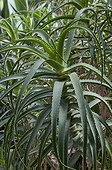 Aloes in a garden