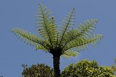 Crown New Zealand tree fern