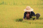 Planting Rice in the vicinity of Lake Inle Myanmar